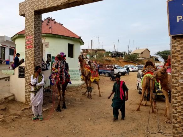 camels at kalo dungar